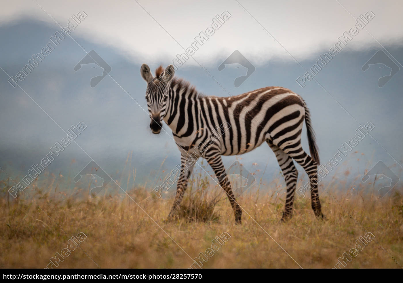 plains, zebra, foal, walks, in, long - 28257570