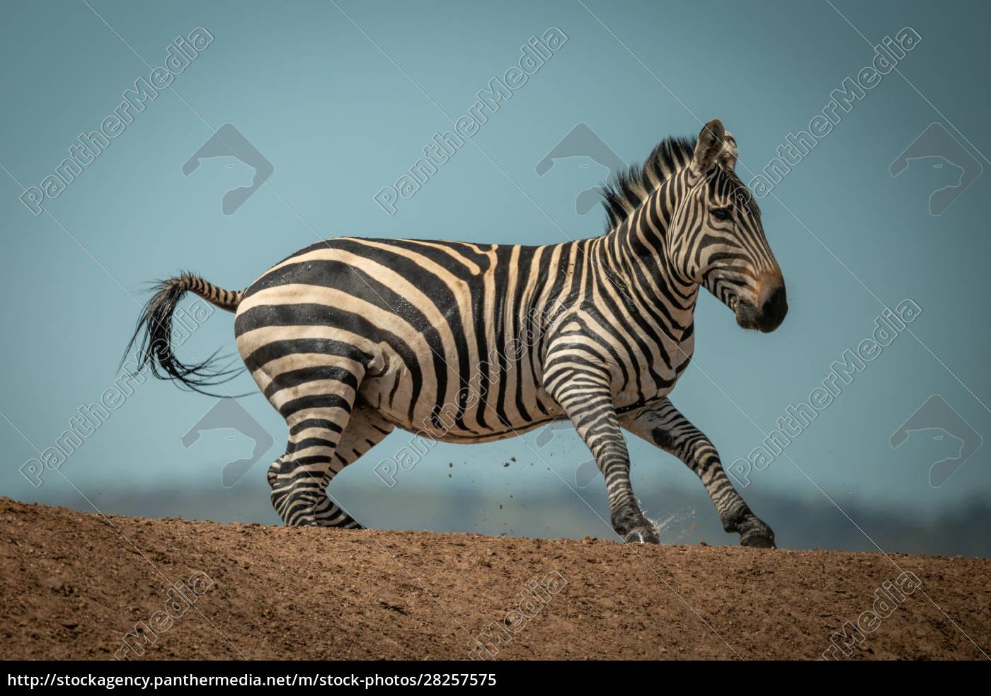 plains, zebra, gallops, over, ridge, in - 28257575