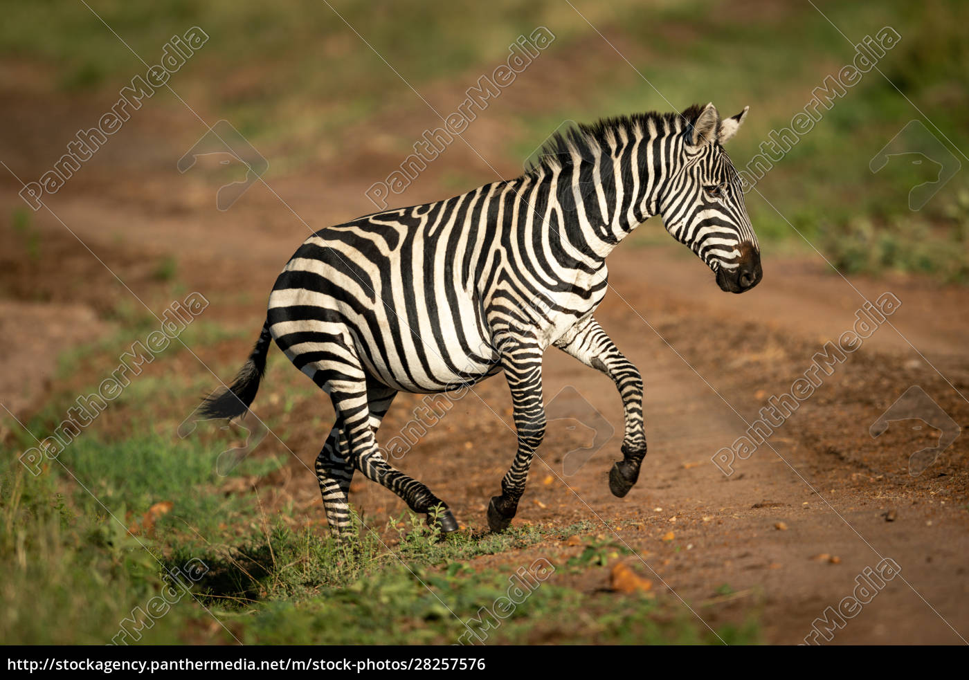 plains, zebra, jumps, over, ditch, beside - 28257576