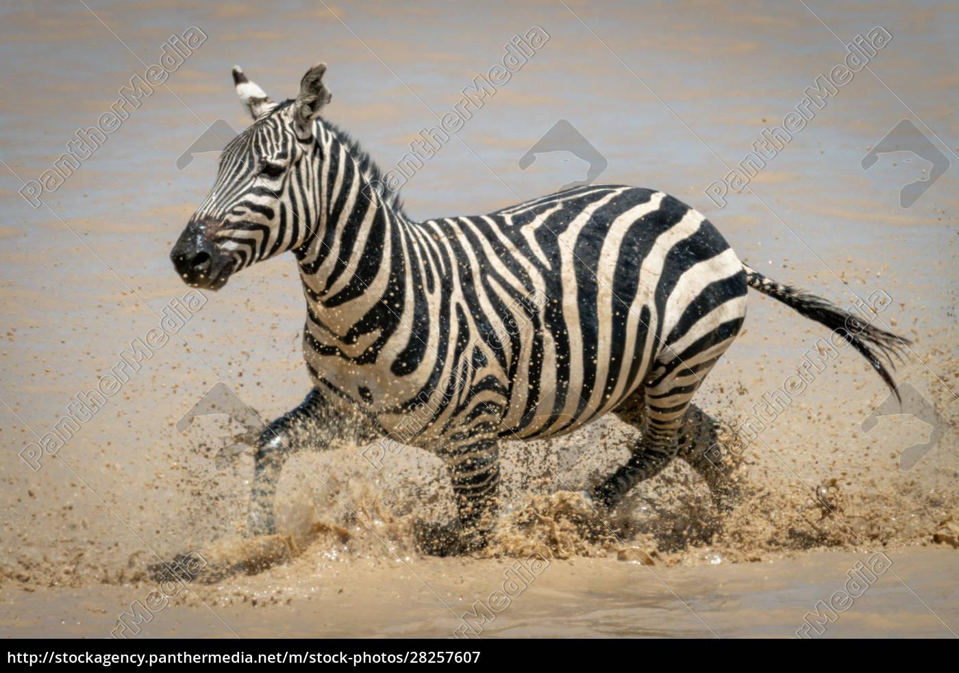 plains, zebra, splashes, through, shallow, muddy - 28257607