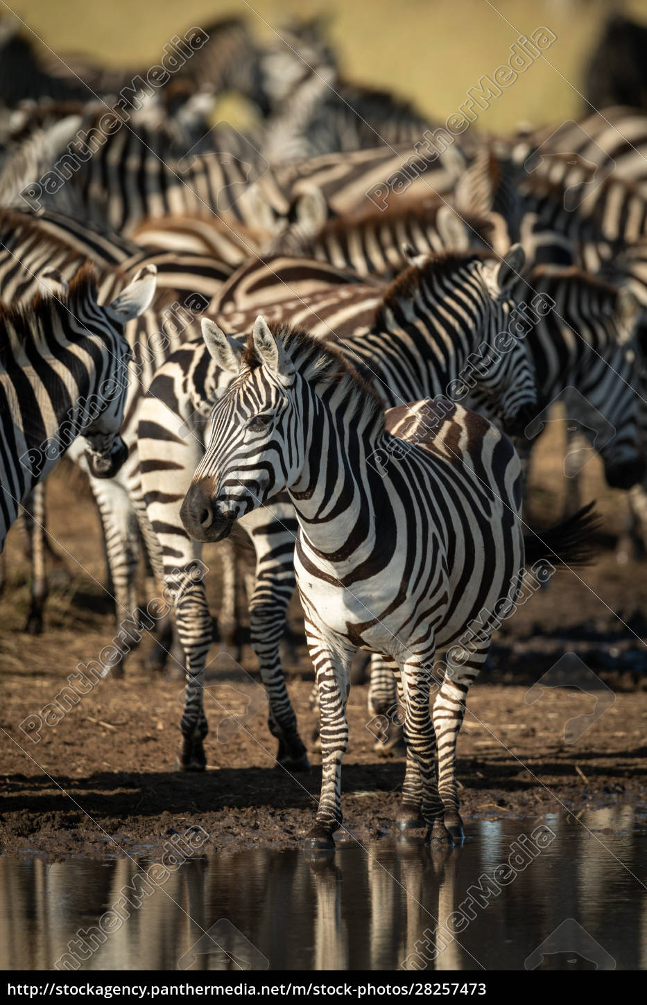 plains, zebra, stands, by, puddle, eyeing - 28257473