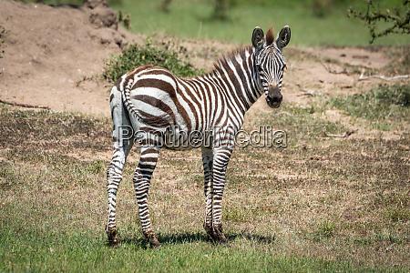 plains, zebra, stands, eyeing, camera, near - 28257477