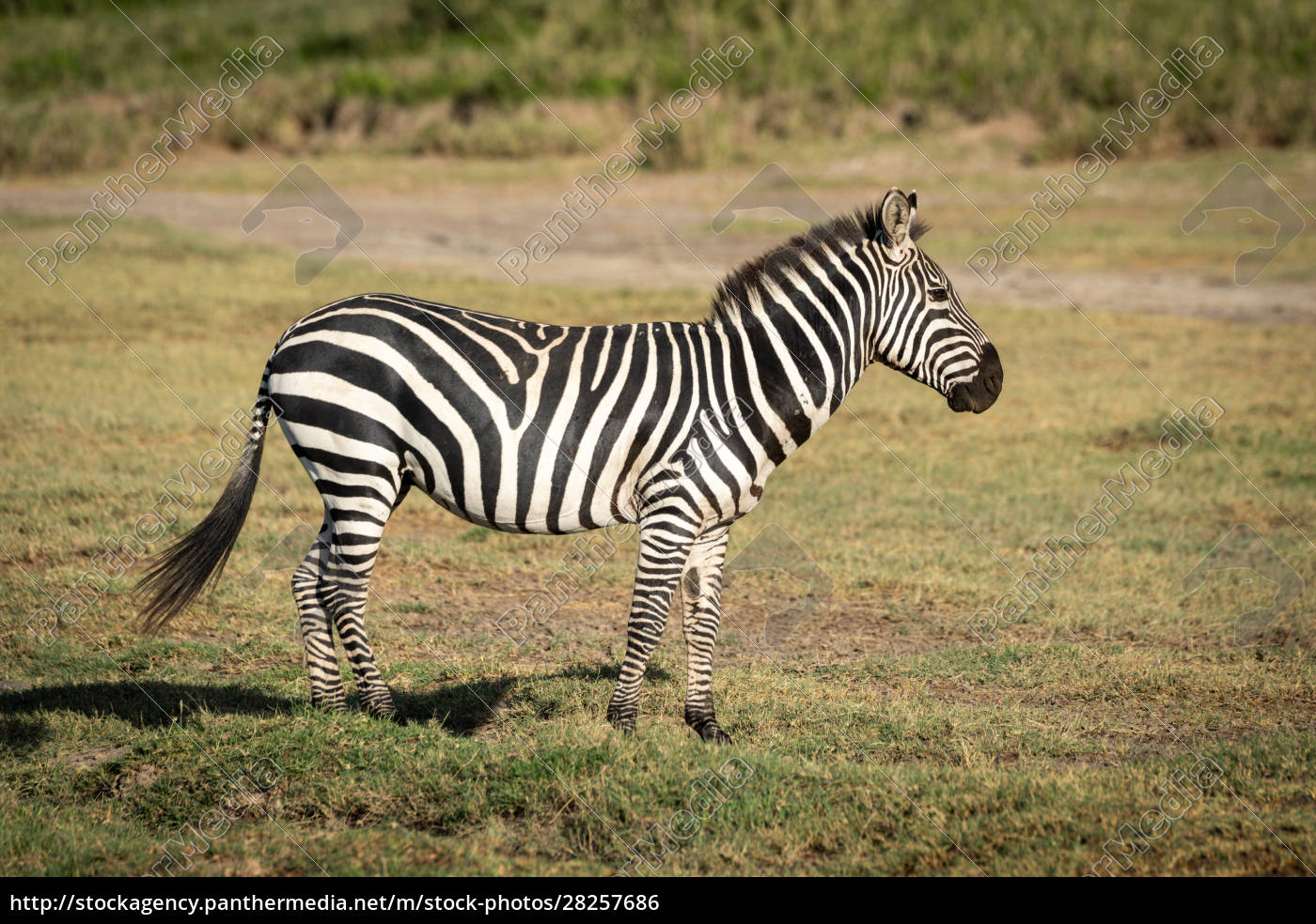 plains, zebra, stands, in, profile, on - 28257686