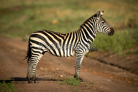 plains, zebra, stands, in, profile, on - 28257687