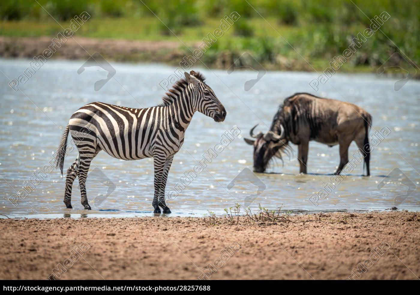 plains, zebra, stands, in, shallows, near - 28257688