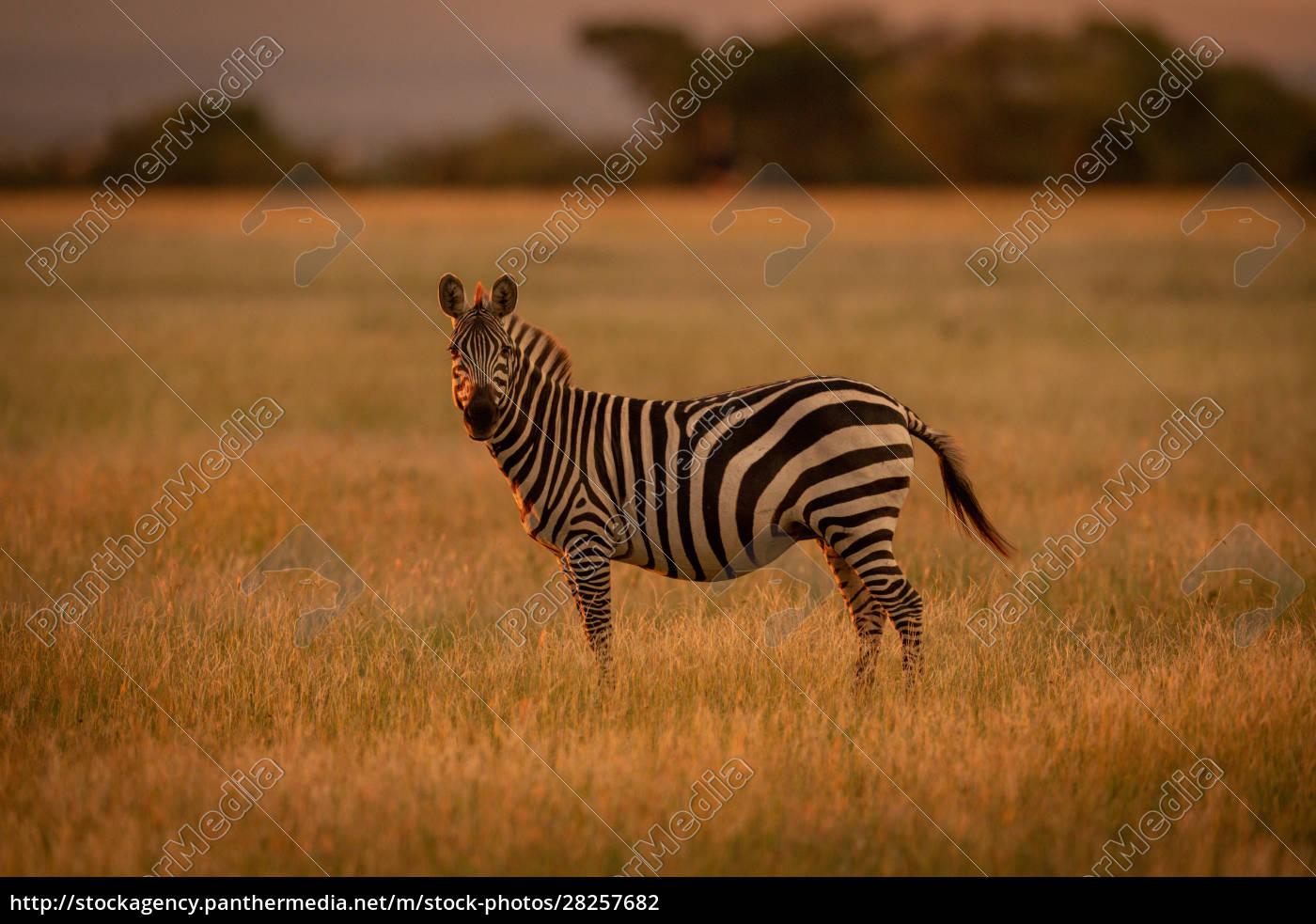 plains, zebra, stands, rim, lit, by - 28257682