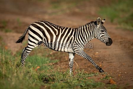 plains, zebra, trots, over, ditch, beside - 28257547