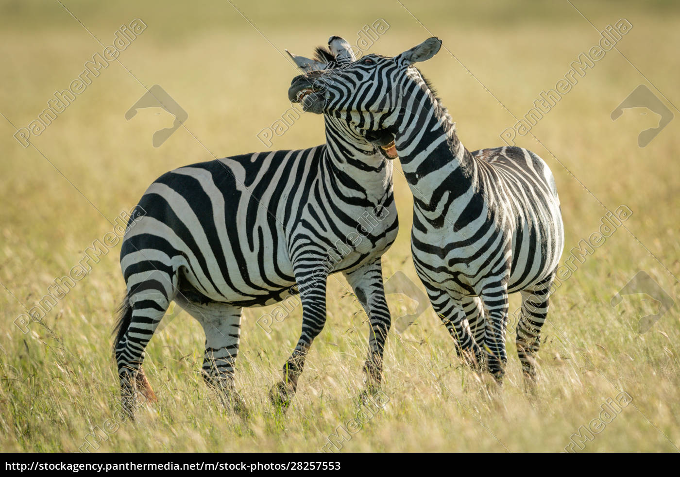 plains, zebras, play, fight, in, tall - 28257553