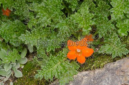 plant, caiophora, rosulata, in, flower, in - 28257979