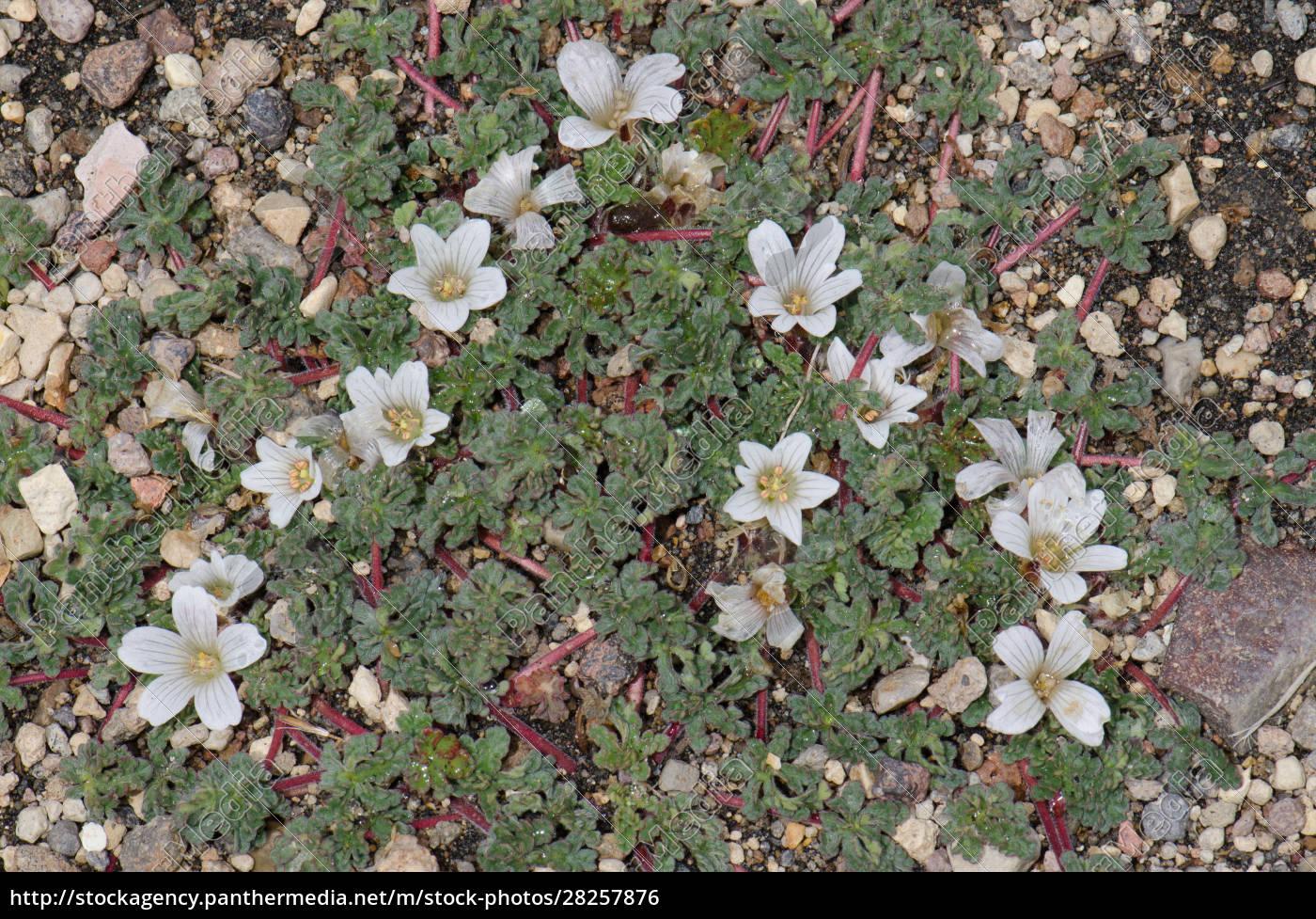 plant, nototriche, rugosa, in, flower., lauca - 28257876