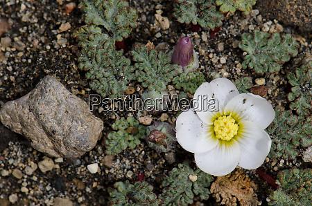 plant, nototriche, rugosa, in, flower, in - 28257957