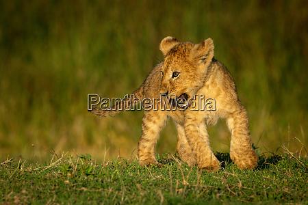 playful, lion, cub, changes, direction, on - 28257559