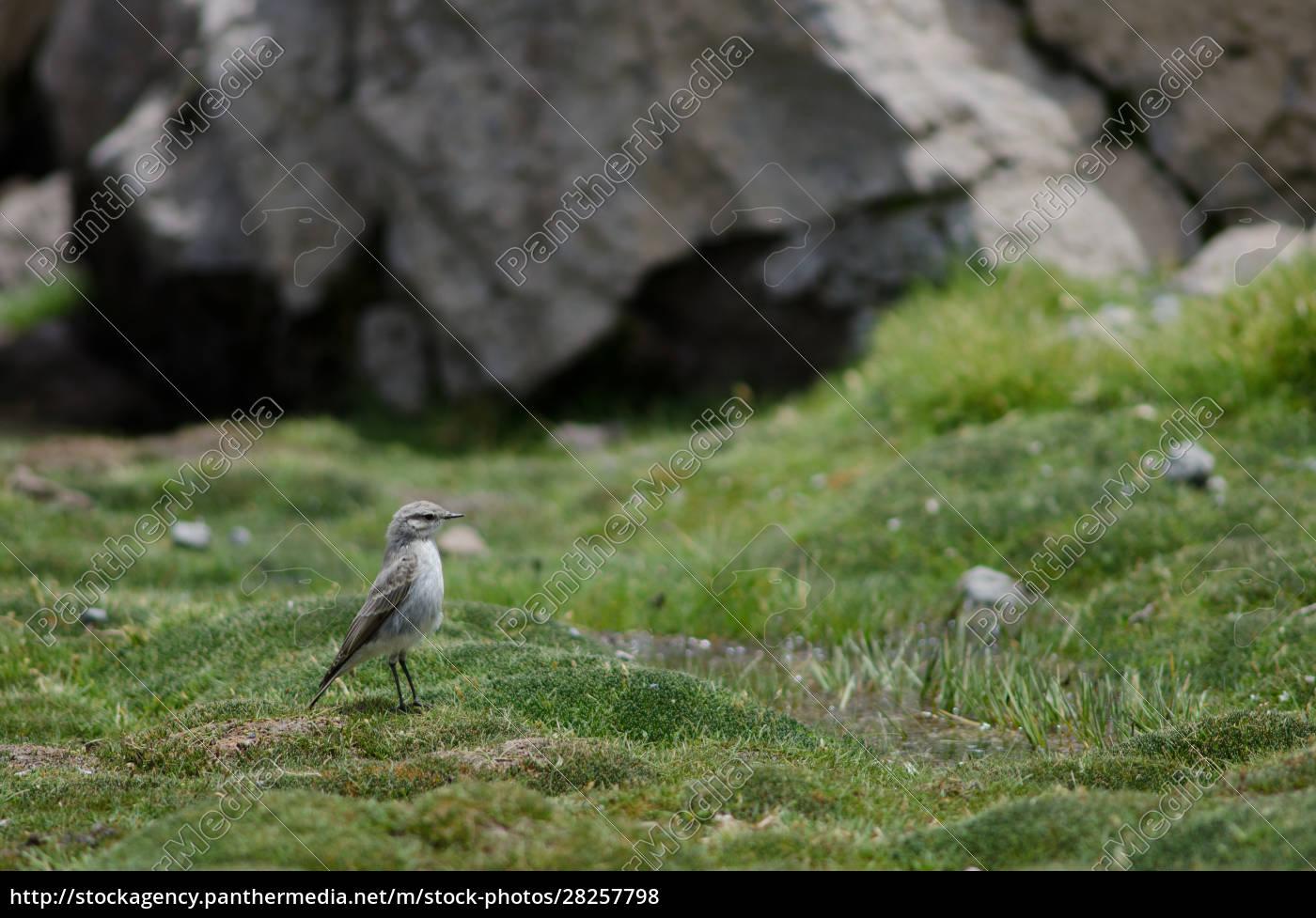 puna, ground, tyrant, muscisaxicola, juninensis, in - 28257798