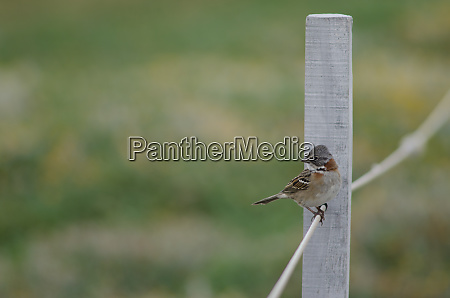 rufous-collared, sparrow, zonotrichia, capensis, perched, on - 28257460