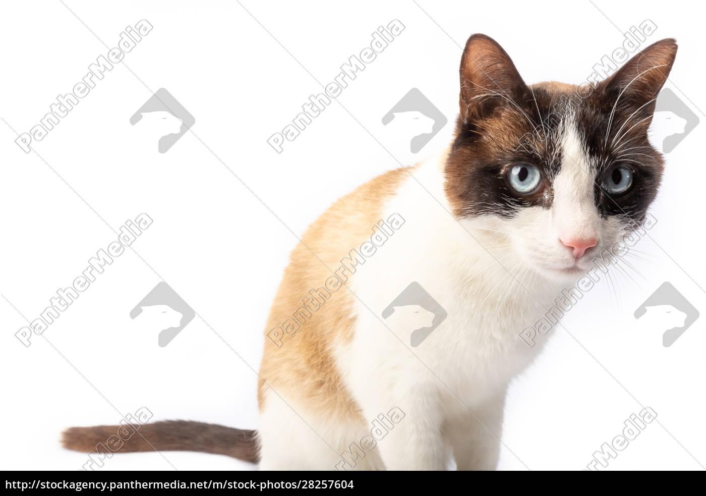 siamese, and, ragdoll, cross, cat, walking - 28257604