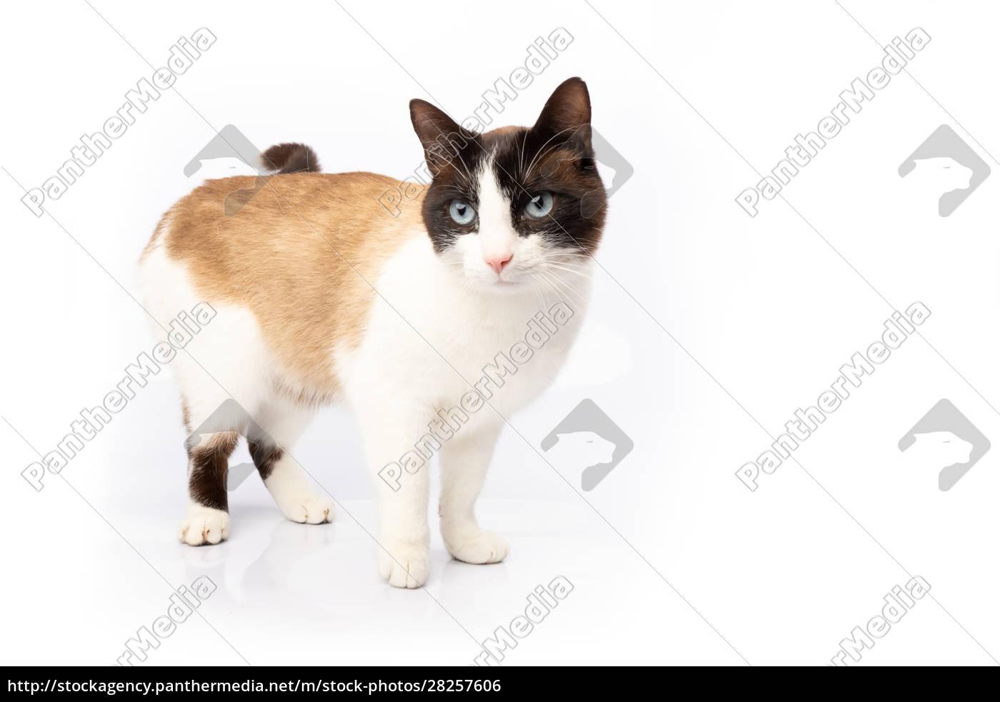 siamese, and, ragdoll, cross, cat, walking - 28257606