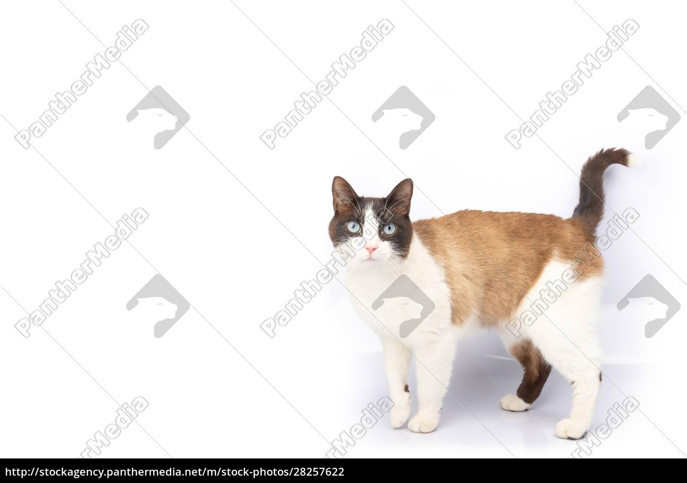 siamese, and, ragdoll, cross, cat, walking - 28257622