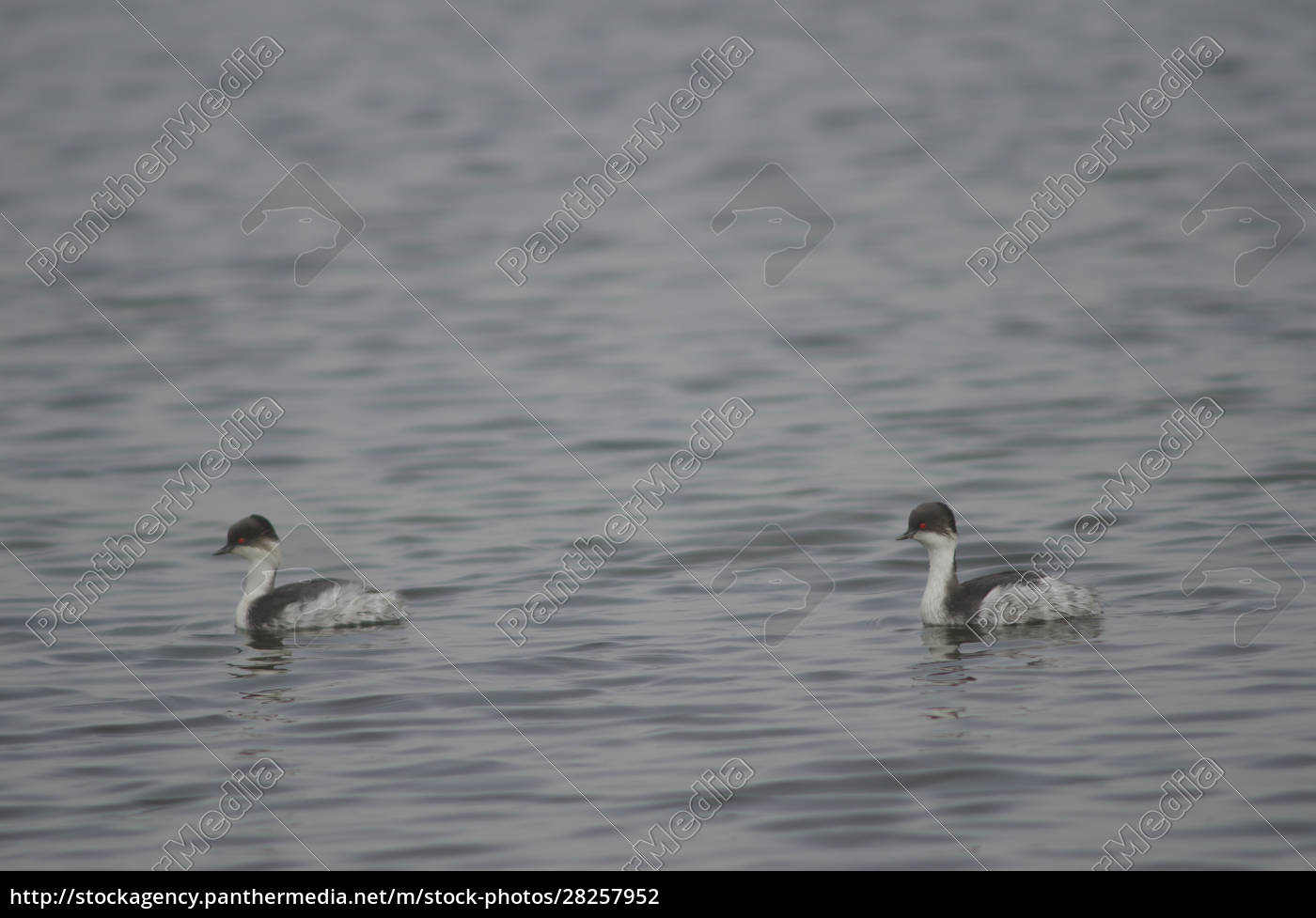 silvery, grebes, podiceps, occipitalis, juninensis, on - 28257952