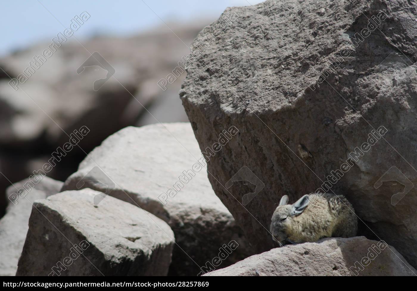 southern, viscacha, lagidium, viscacia, resting, between - 28257869