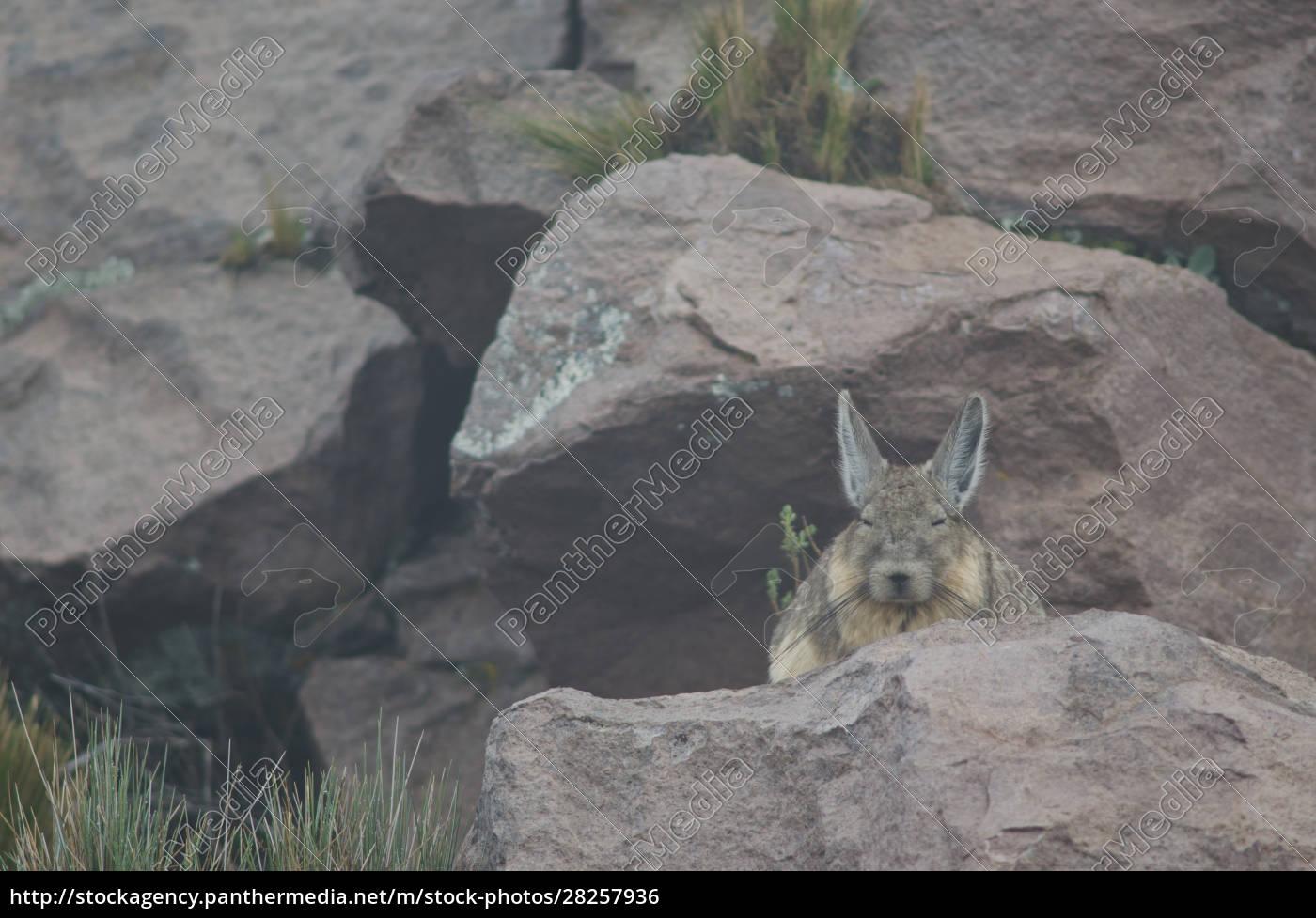 southern, viscacha, lagidium, viscacia, resting, in - 28257936