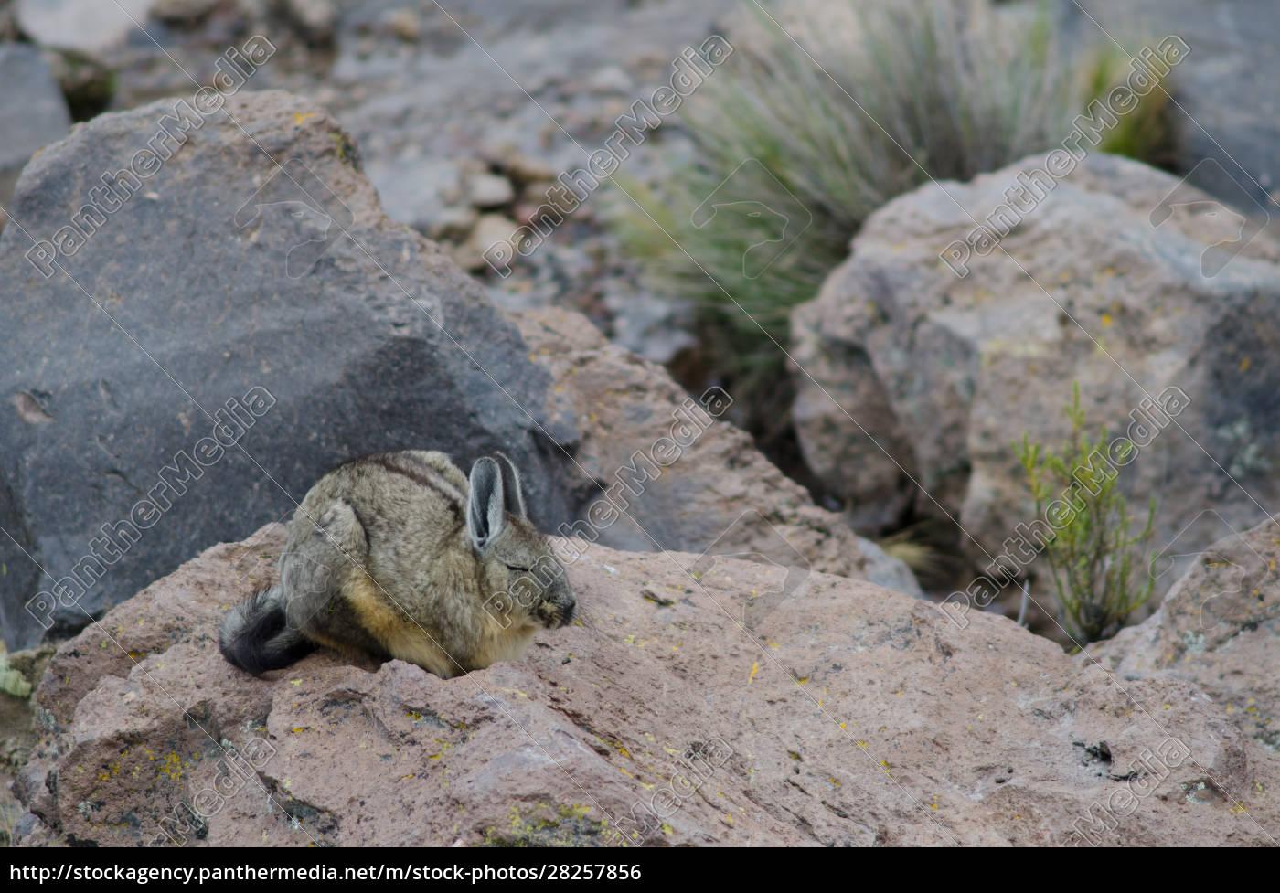 southern, viscacha, lagidium, viscacia, sleeping, on - 28257856