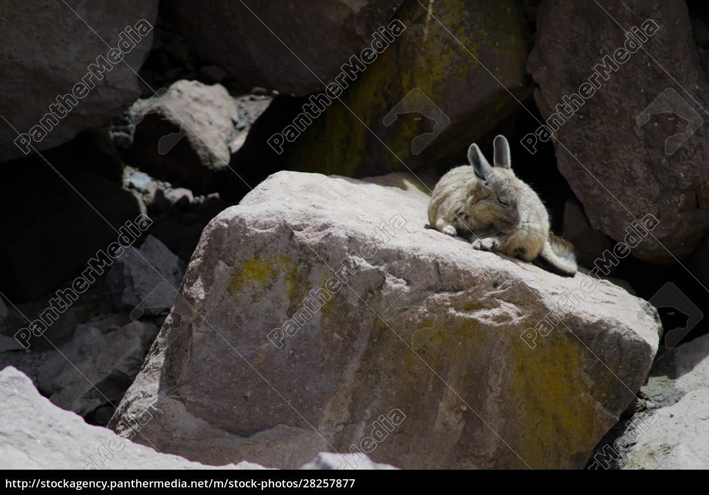 southern, viscacha, lagidium, viscacia, wiping, coat - 28257877