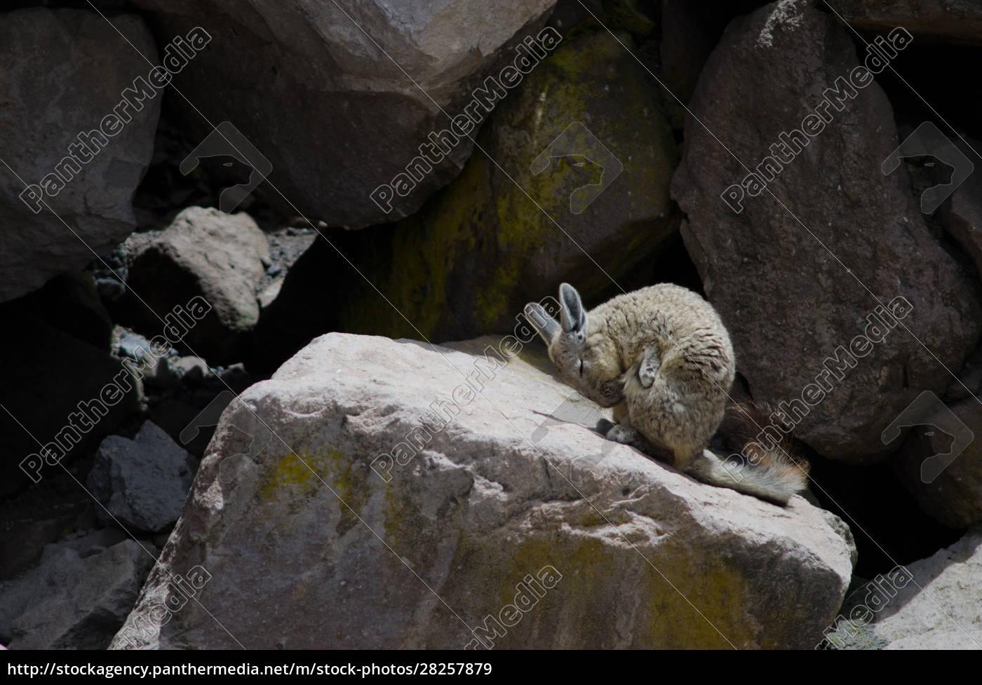 southern, viscacha, lagidium, viscacia, wiping, coat - 28257879