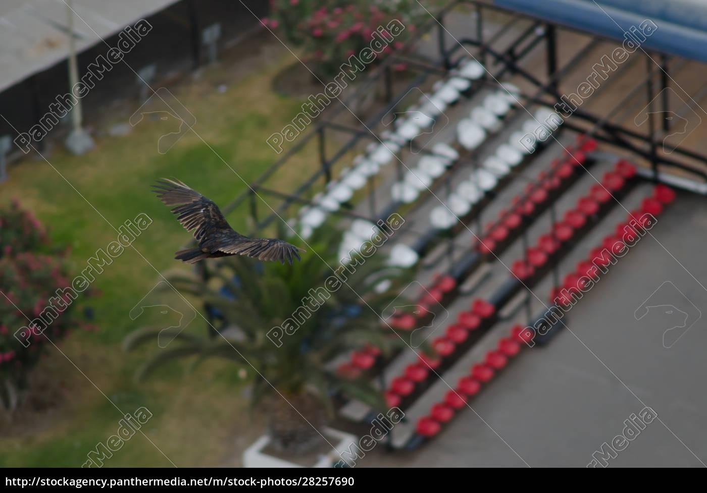 turkey, vulture, cathartes, aura, in, flight - 28257690