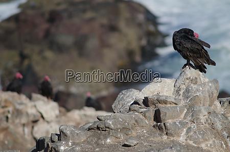 turkey, vulture, cathartes, aura, preening, on - 28257975