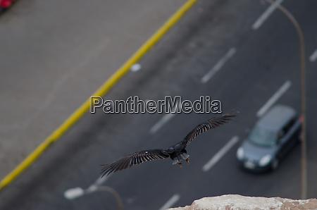 turkey, vulture, cathartes, aura, taking, flight - 28257654
