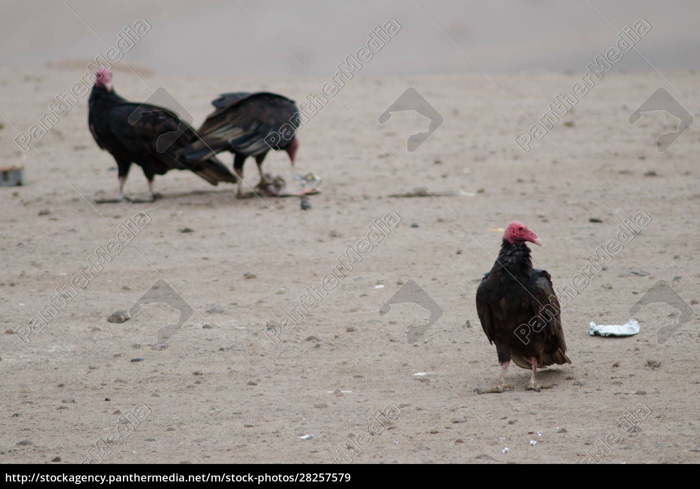 turkey, vultures, cathartes, aura, in, the - 28257579