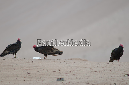 turkey, vultures, cathartes, aura, in, the - 28257698