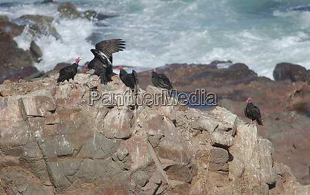 turkey, vultures, cathartes, aura, on, a - 28257970