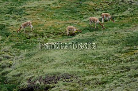 vicunas, vicugna, vicugna, grazing, in, a - 28257736