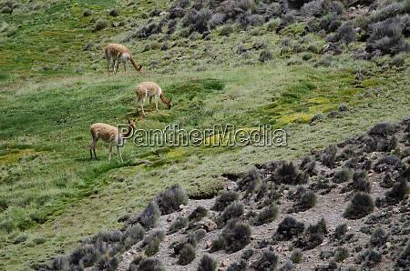 vicunas, vicugna, vicugna, grazing, in, a - 28257742