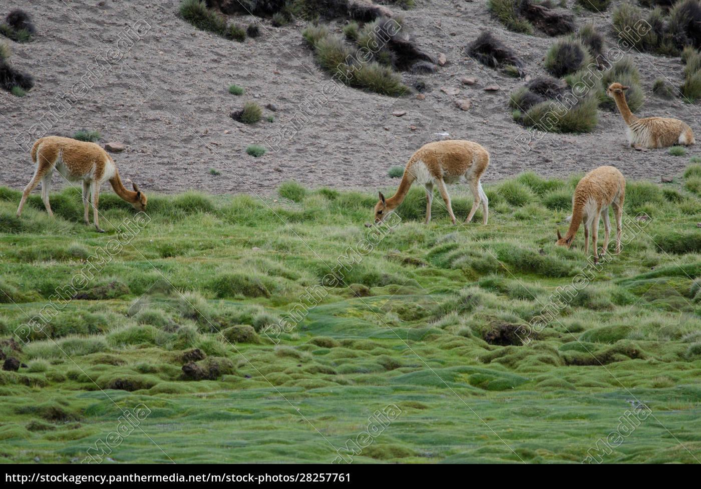 vicunas, vicugna, vicugna, grazing, in, a - 28257761