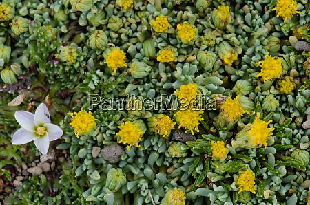 wild, plants, in, flower, with, nototriche - 28257878