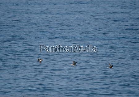 peruvian pelicans pelecanus thagus in flight