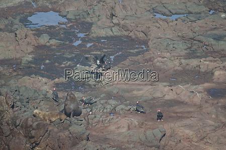 south american sea lions otaria flavescens