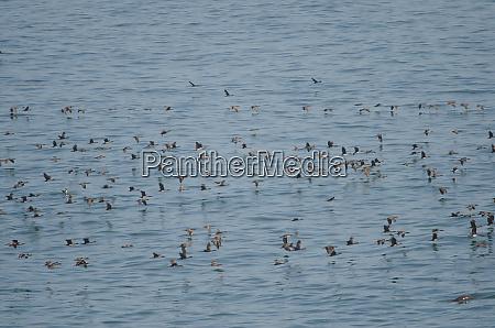 guanay cormorants in flight over the