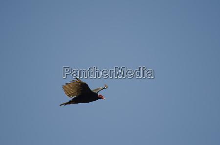 turkey vulture cathartes aura in flight