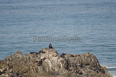 south american sea lions and guanay
