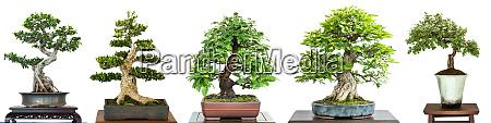 bonsai laubbaeume auf einer ausstellung im