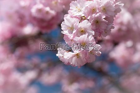 pink cherry blossom in spirng