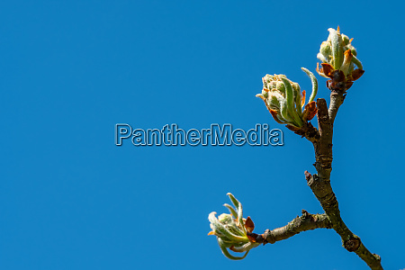 buds and young leaves at a