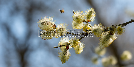 willow catkin blossom salix with flying