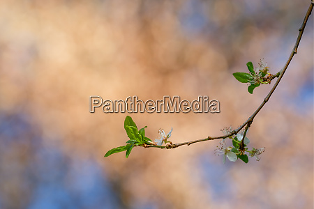 twig with white blossom and green