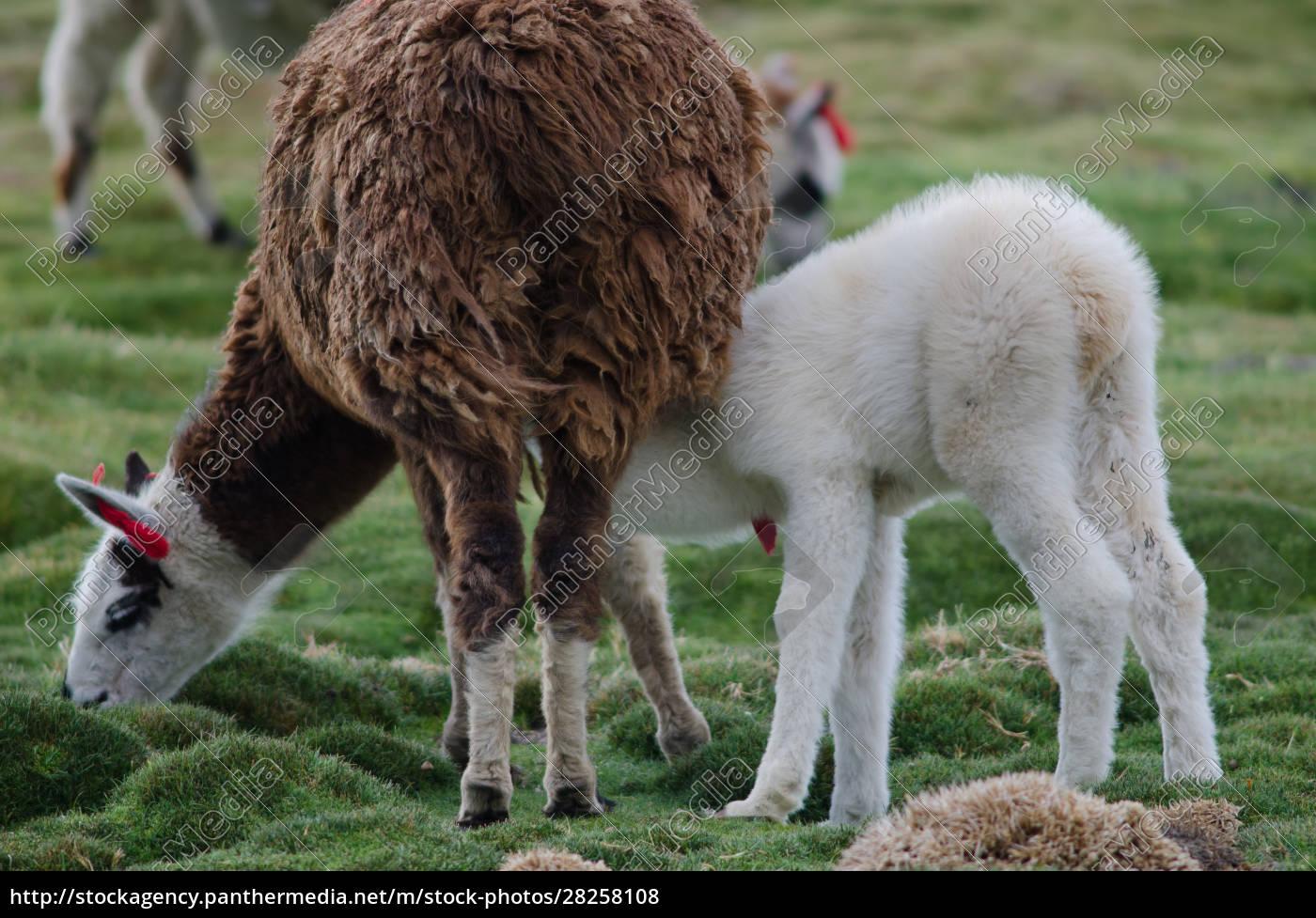 baby, alpaca, vicugna, pacos, suckling, from - 28258108
