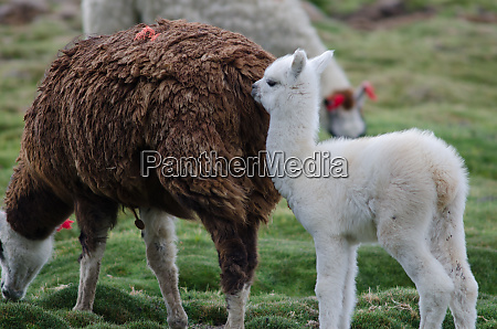 baby, alpaca, vicugna, pacos, with, her - 28258109
