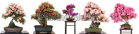 bonsai, bäume, mit, blüten, als, panorama - 28258304